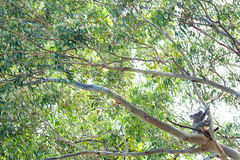 Koala Tree - Australia Royalty Free Stock Photography