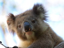 Koala on a tree in Australia Stock Photography