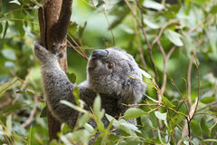 Koala. On the tree, Australia royalty free stock photo