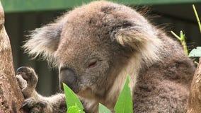 Koala close up on tree Australia. Koala on a tree in Australia stock video footage
