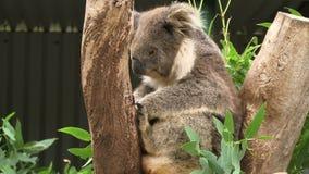 Koala close up on a gum tree. Koala on a tree in Australia stock video