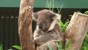 Koala close up on a tree. Koala on a tree in Australia sleeping stock video footage
