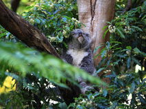 Koala in tree awake Stock Photo