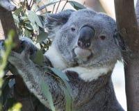 Koala in Tree. Koala Bear climbing eucalyptus tree Stock Photography