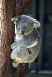Koala on a tree Stock Photo