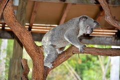 Koala. On the tree. Billabong close to Townsville Stock Photo