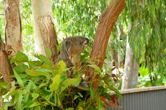 Koala. On the tree. Billabong close to Townsville Stock Images