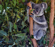 Koala on a tree branch eucalyptus Stock Photo