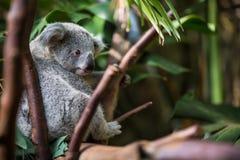 Koala on a tree Stock Images