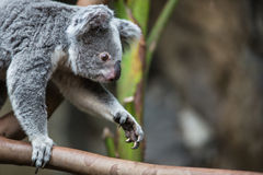 Koala on a tree royalty free stock photography