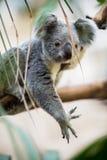 Koala on a tree Royalty Free Stock Images