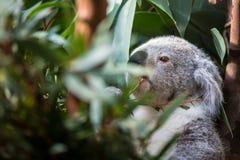 Koala on a tree Royalty Free Stock Photography