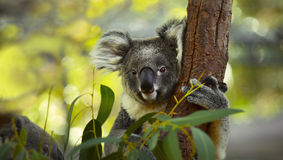 Koala. On a tree with bush green background royalty free stock images