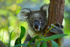 Koala. On a tree with bush green background stock photo