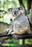 Koala on a tree with bush green background Stock Photos