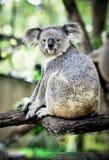 Koala on a tree with bush green background Stock Photos