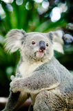Koala on a tree with bush green background Stock Images