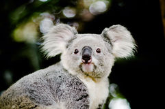 Koala on a tree with bush green background Royalty Free Stock Image