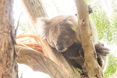 Koala in tree Royalty Free Stock Photos