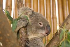 Koala on the tree Stock Image