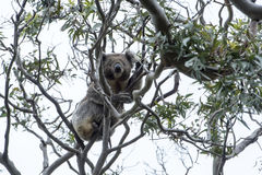 Koala in tree. Koala in eucalyptus tree, South Australia royalty free stock images