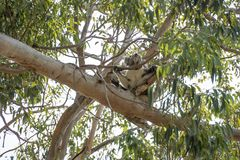 Koala in the tree relaxing and sleeping stock images