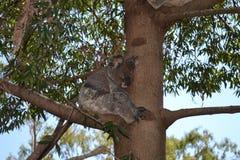 Koala in Tree stock images