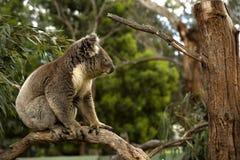 Koala in a tree Stock Photos