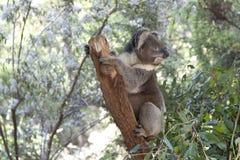 Koala on a tree trunk Stock Photos