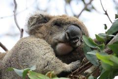 Koala. In a tree, Victoria, Australia stock images