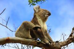 Koala. In a tree, Victoria, Australia royalty free stock images