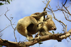 Koala. In a tree, Victoria, Australia stock photos