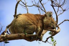 Koala. In a tree, Victoria, Australia stock photo