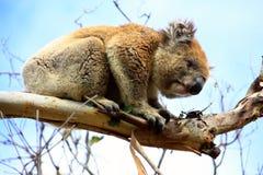 Koala. In a tree, Victoria, Australia stock image