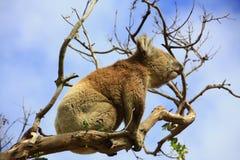 Koala. In a tree, Victoria, Australia royalty free stock photography