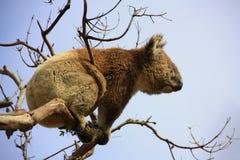 Koala. In a tree, Victoria, Australia royalty free stock photo