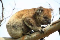 Koala. In a tree, Victoria, Australia stock photography