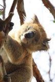 Koala. In a tree, Victoria, Australia royalty free stock image