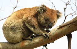 Koala. In a tree, Victoria, Australia royalty free stock photos