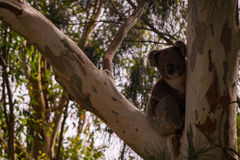 Koala in tree. This koala visited my backyard in South Australia today. I used the law of thirds for the image stock image