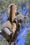 Koala in un albero Immagini Stock Libere da Diritti
