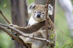 Koala in un albero Fotografie Stock Libere da Diritti