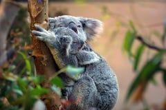 Koala und Joey stockbilder