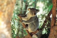 Koala und Zweig Lizenzfreies Stockbild