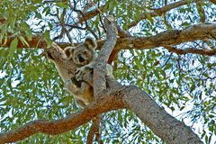 Koala up a gum tree #2. On the side of the pathway in a nature reserve in Maryborough, Queensland, Australia. This Koala was not at all worried about me Stock Image