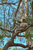 Koala up a gum tree Royalty Free Stock Image
