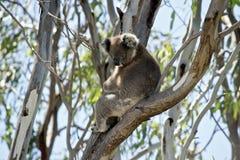 Koala up tree Stock Photo