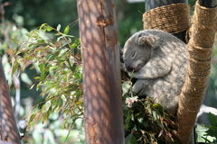 Koala in usa stock photo