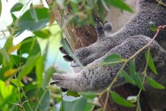 Koala paws. A koala uses its feet and long black claws to grasp this tree Royalty Free Stock Photography