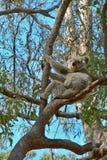 Koala vers le haut d'un arbre de gomme Image libre de droits